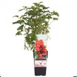 Fruitplanten