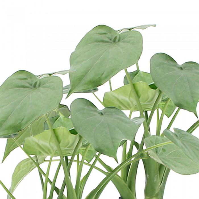 DeBlock Alocasia Cucullata op stam - 2 stuks 40 cm