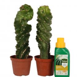 DeBlock Cereus Validus spiraal cactus - 2 stuks - 18 cm - Inclusief voeding