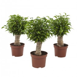 DeBlock Ficus Natasja - 3 stuks 35 cm