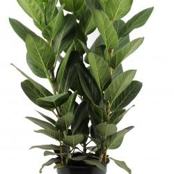 DeBlock Ficus Audrey trendy kamerplant 80 cm