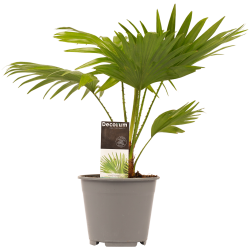 DeBlock Decorum Livistona Rotendifolia - Gezonde bureauplant - 45 cm
