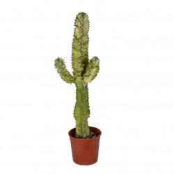 DeBlock Euphorbia erytrea variegata cactus 60 cm