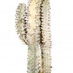 DeBlock Euphorbia Erytrea cactus 70 cm