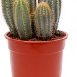 DeBlock Pilosocereus pachycladus cactus 35 cm