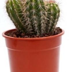 DeBlock Pilosocereus pringlei cactus 35 cm
