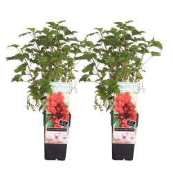 DeBlock Duo rode aalbes Ribes rubrum - 55 cm - 2 stuks
