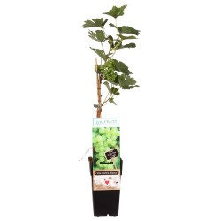 DeBlock Vitis Bianca druif voor in het Nederlandse klimaat - 55 cm