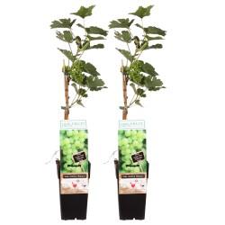 DeBlock Duo Vitis Bianca druif - 2 stuks - 55 cm