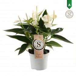 DeBlock Anthurium White Champion 30 cm