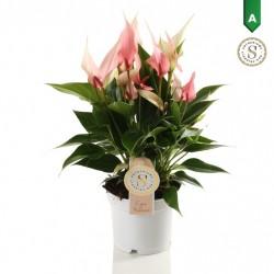 DeBlock Anthurium Lilli zachtroze 40 cm