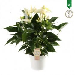 DeBlock Anthurium White Champion 50 cm