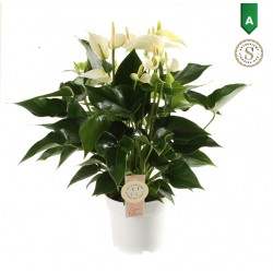 DeBlock Anthurium White Champion 50 cm