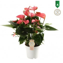 DeBlock Anthurium Red Champion 50 cm