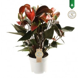DeBlock Anthurium Rainbow 50 cm