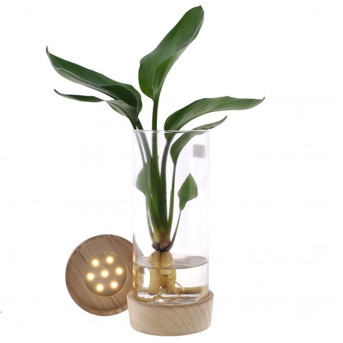DeBlock Strelizia in cylinderglas + Led-verlichting - paradijsvogelbloem - 25 cm