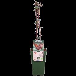 DeBlock Japanse wijnbes Tasty Green - 55 cm