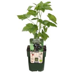 DeBlock Aalbes Ribes Nigrum Ben Nevis Bio Tasty Green - 55 cm