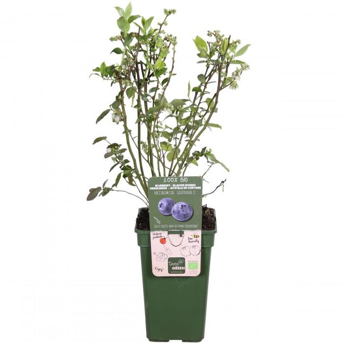 DeBlock Amerikaanse bosbes Tasty Green - 55 cm
