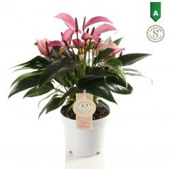 DeBlock Anthurium Zizou paarskleurig 40 cm