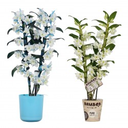 DeBlock Bamboo orchid 2 tak make-upz blue + Bamboo orchid pure white apollon 2 tak - 50 cm