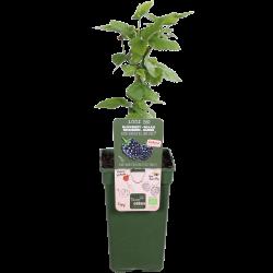 DeBlock Braam Rubus Navaho Bigandearly Tasty Green - 55 cm