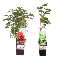 DeBlock Combinatiepakket Vitis Bianca druif en Ribes aalbes - 55 cm