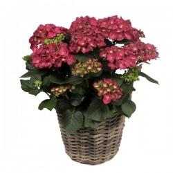 DeBlock Decorum Hydrangea Bol Rood in rieten mand - Hortensia 40 cm