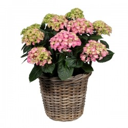 DeBlock Decorum Hydrangea Bol Roze in rieten mand - Hortensia 40 cm