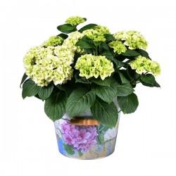 DeBlock Decorum Hydrangea Bol Wit in emmer -  Hortensia 40 cm