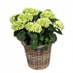 DeBlock Decorum Hydrangea Bol Wit in rieten mand - Hortensia 40 cm